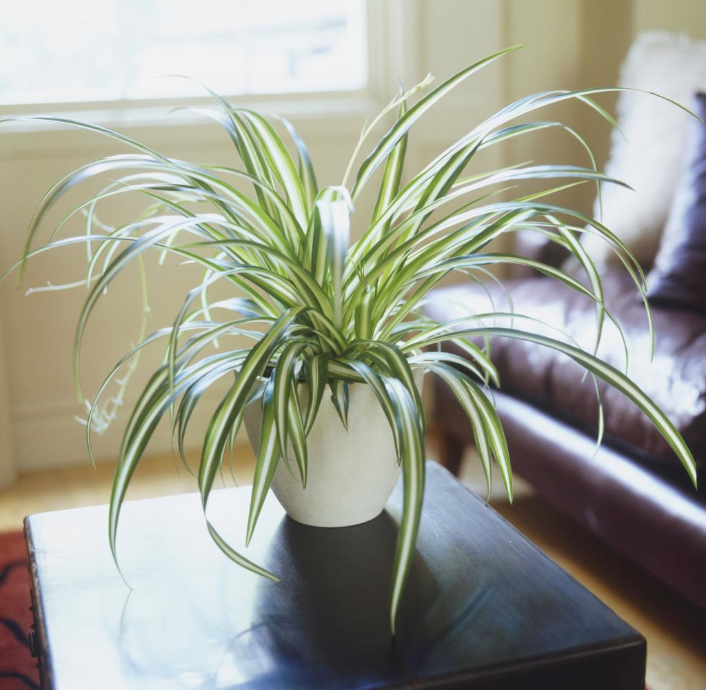 Chlorophytum comosum 'Vittatum', Spider Plant growing in white ceramic pot standing on living room coffee table.