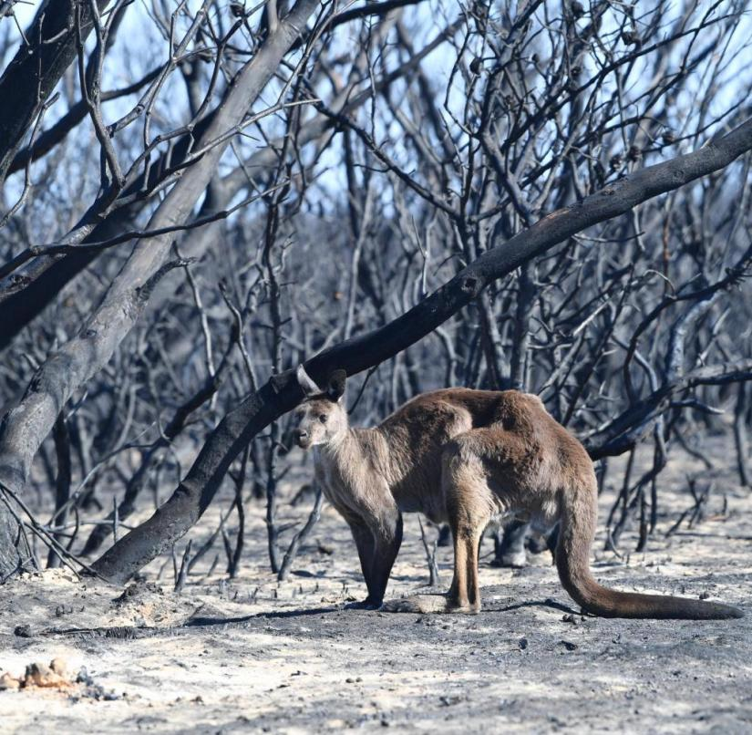 07/01/2020, Australia, Adelaide: A kangaroo stands during the bush fire in the Flinder Chase National Park on Kangaroo Island, southwest of Adelaide. The bushfires in Australia have already burned several million hectares of land. Photo: David Mariuz / AAP / dpa +++ dpa-Bildfunk +++