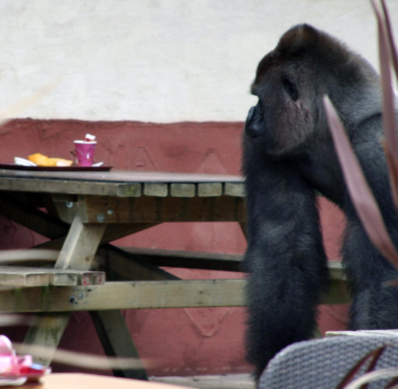 ausbruch bokito sturmt restaurant und