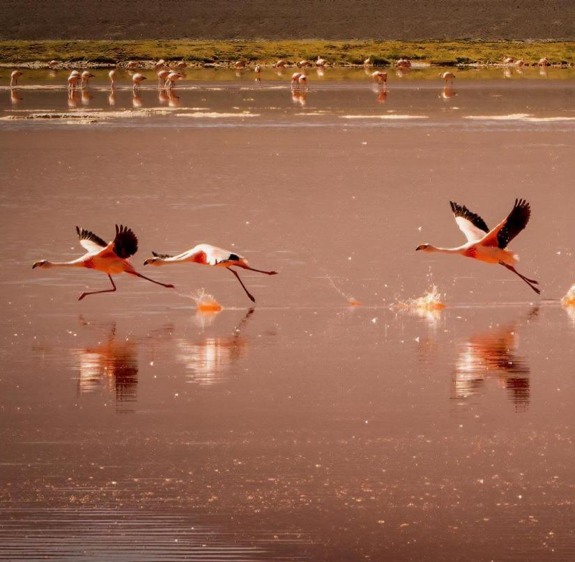 Flamingos taking off from the lake surface