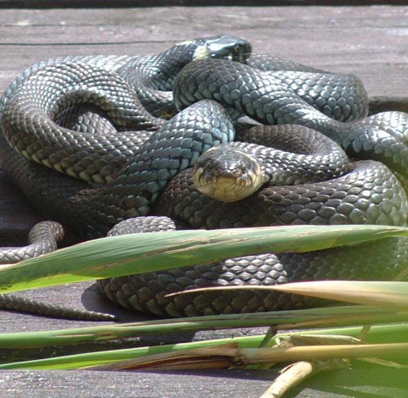 Brandenburg: grass snakes sun themselves on the bathing jetty on the lake near Templin