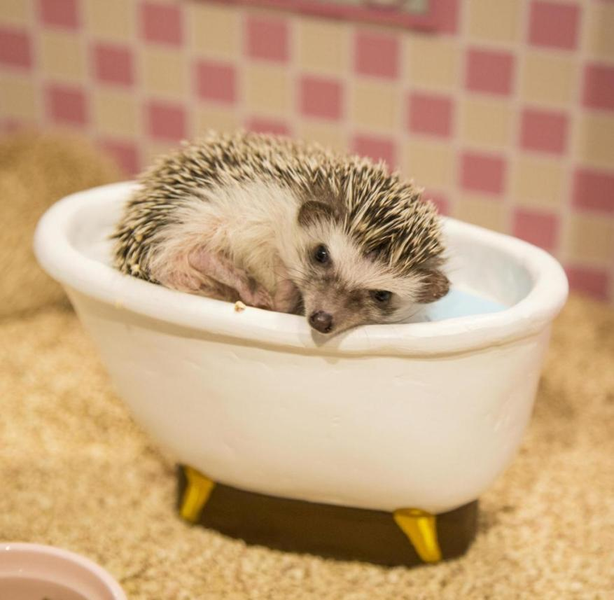 """Tokyo (Japan): In the """"Chikuchiku Café"""", hedgehogs are presented humanely in dollhouses"""