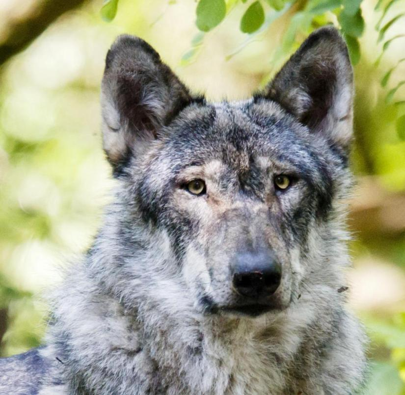 A wolf in Germany