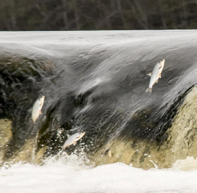 Kuldiga in Kurzeme (Latvia): Salmon jump up the rapids to migrate upstream to spawn