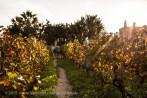 Gozo - Wein wächst