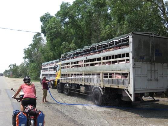 Schweinetransport bei 38°C.