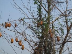 Schlingpflanze mit Früchten