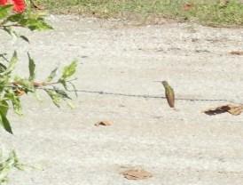 Hummingbird. Seltenes Foto: meistens fliegen sie.
