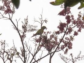 """Grüner Papagei (""""Parrot"""")"""