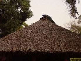 Der Pfau kräht auf dem Dach.