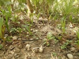 hier wird glaubhaft, dass mehr Menschen von Kokosnüssen erschlagen als von Haien gefressen werden