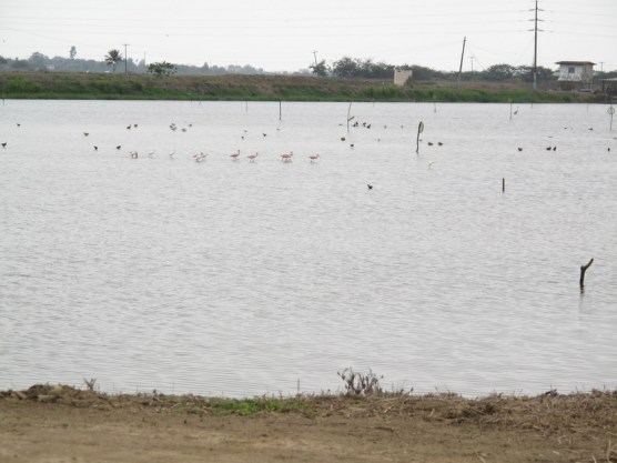 Flamingos in der Shrimps-Farm