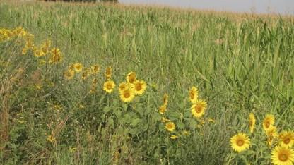 Sonnenblumenrand ums Maisfeld