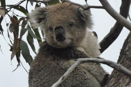 Australien-Tierleben-Koala-schaut