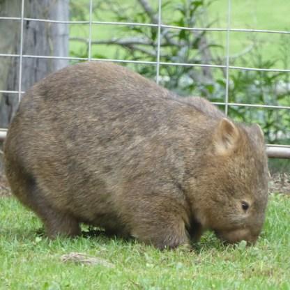 Australien-Tierleben-Wombat-Gras