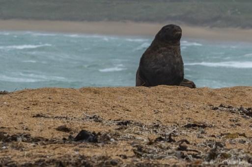 Am Strand fanden wir diese einsame Seelöwin