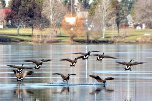 Gary Provo's geese_on_Columbia