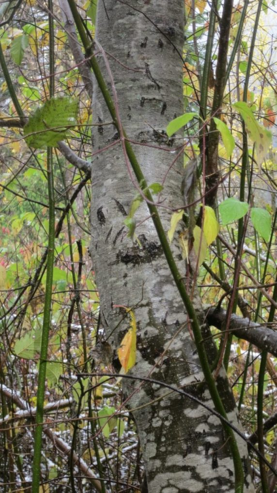 Black bear claw marks on the trunk of this alder (Alnus).