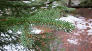 Sharp, short, and square: Englemann spruce (Picea englemanii) needes on a young tree.