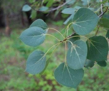 Populous tremuloides quaking aspen