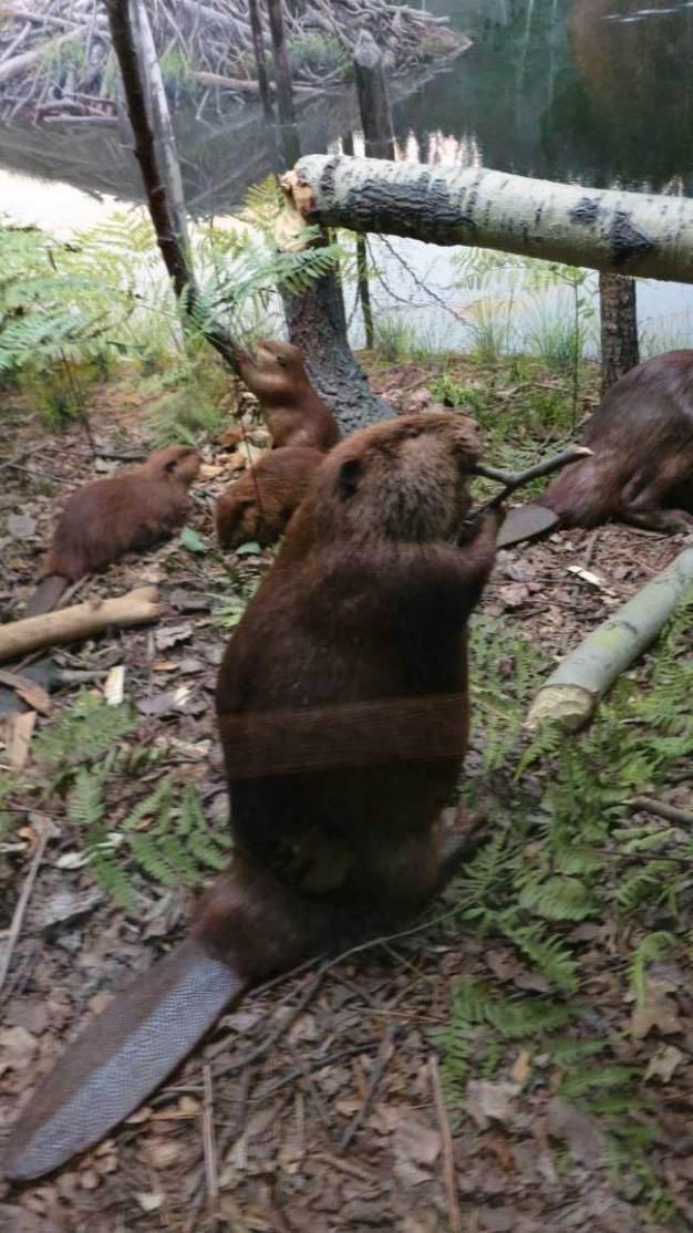Castor canadensis American beaver