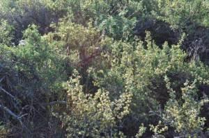 Purshia tridentata bitterbrush