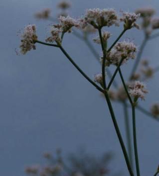 Eriogonum elatum Tall buckwheat