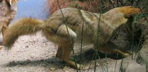 Canis latrans coyote