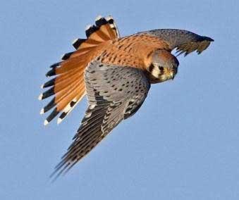 Falco sparverius American Kestrel