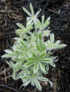 Lupinus species lupine
