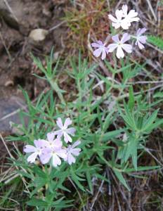 long-leaf phlox Phlox longifolia Family ID traits: • Long tubular flowers (fused petals) with 5 spreading petal lobes • Stamens attached to corolla at different levels. • Style- usually 3-parted R
