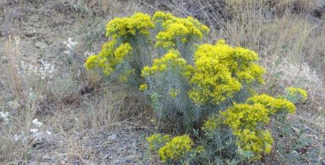 Ericameria (formerly Chrysothamnus) nauseosus rabbit brush