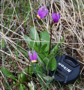 shooting star Dodecatheon conjugens
