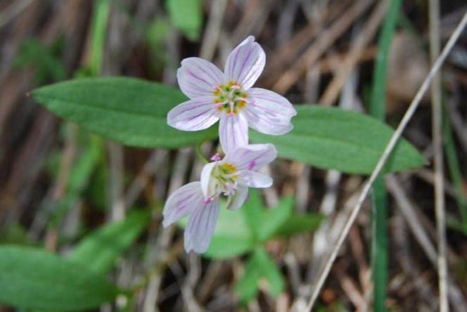 Spring Beauty Claytonia
