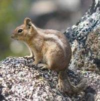 Cascade golden-mantled ground squirrel Spermophilus saturatus