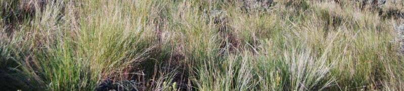 Pseudoroegneria spicata Blue-bunch wheatgrass