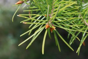 Douglas-fir has a pointed spear-like branch-tip bud.