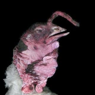 White Turkey Beak