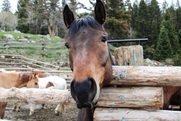 Gardiner Horse Drove, Montana