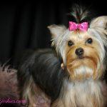 Female Teacup Yorkie Puppies For Sale In Tx Wendys Yorkies