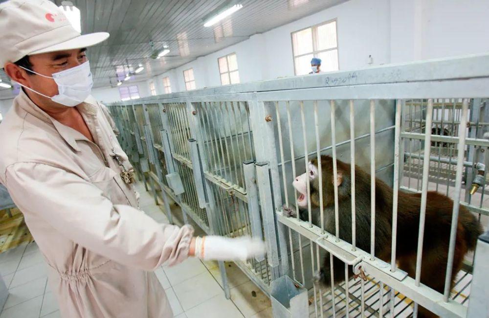 """新冠疫苗研发大战""""一猴难求"""" 中国实验猴身价飙升"""
