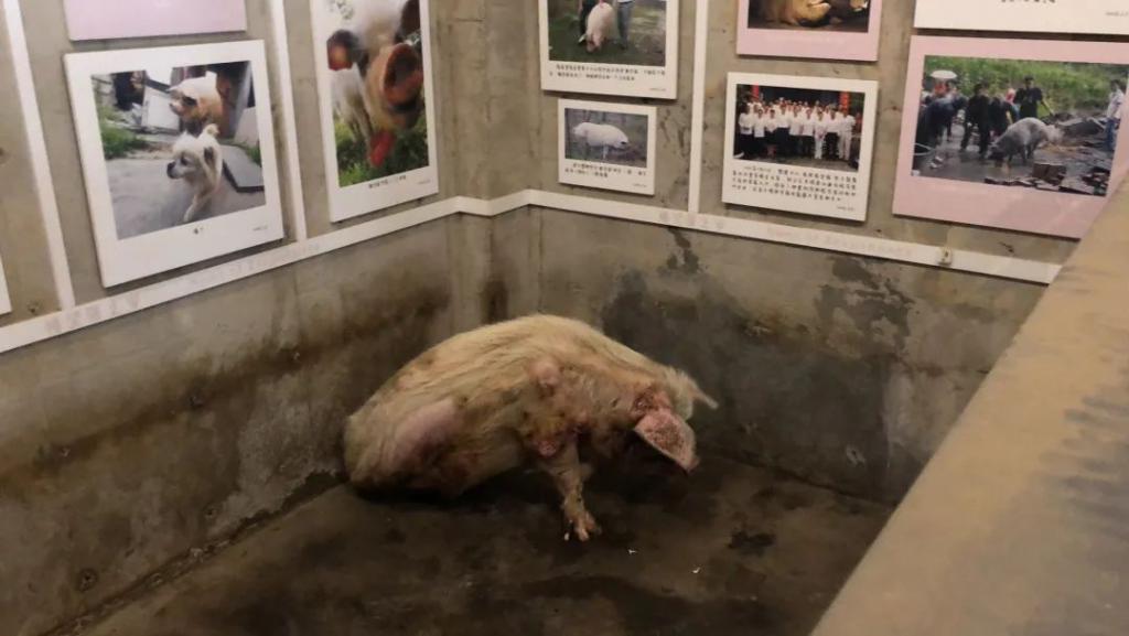 """""""猪坚强""""情况很糟,博物馆:会考虑实施安乐死"""