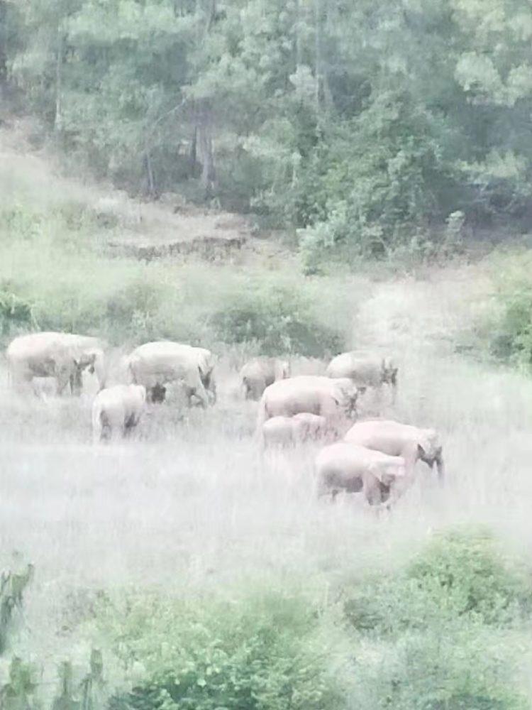 北迁象群入昆明:山间睡了两小时 醒来吃了些庄稼