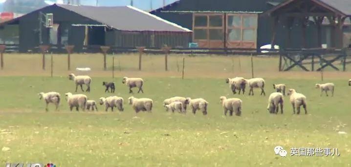 车祸中狗子被弹出车窗后失踪,找到时它正在放羊…