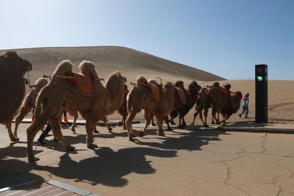 """重现西域繁荣?""""五一""""再现奇景:敦煌景區""""堵骆驼"""""""