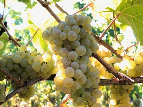 Wann Beginnt Die Weinlese