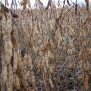 Soybean Field for Wild Game