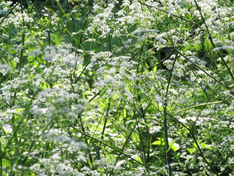 Cow parsley growing along the hedgerow in May