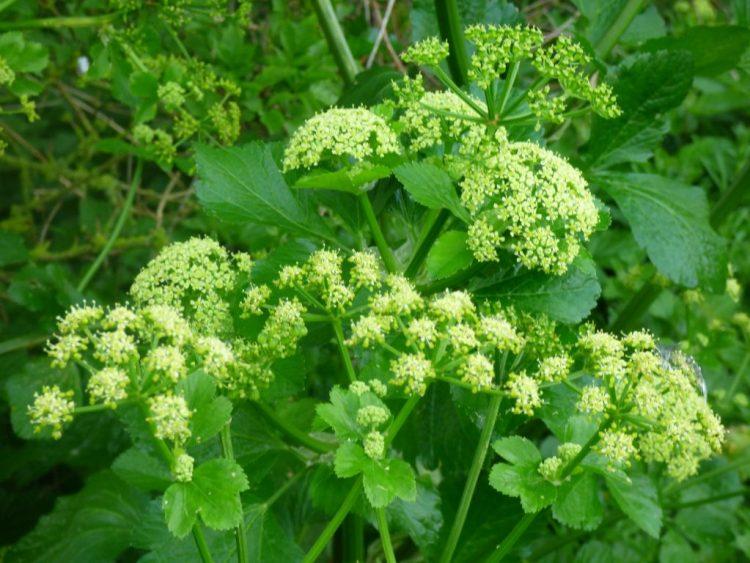 Alexanders still flowering in May in West Bay