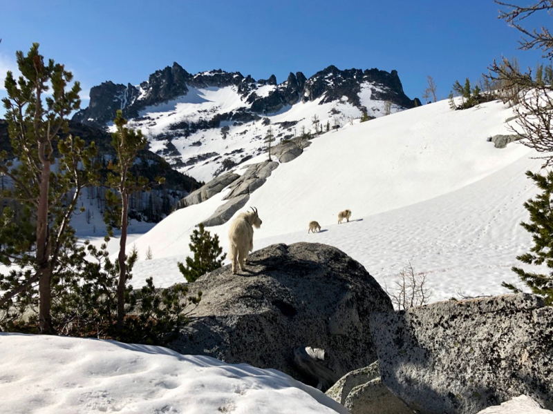 Three mountain goats on rocks and snow.
